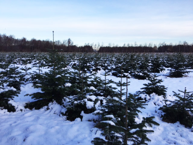Juletræer i sne hos Fædres Gave