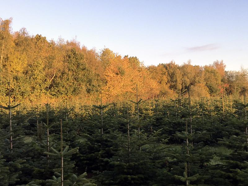 Juletræ plantagen Fædresgave i Kastrup
